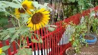 Melihat Cantiknya Kebun Cengek di Bulak Banjar Pangandaran