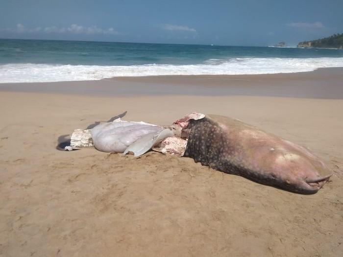 Video hiu tutul terdampar di Pacitan viral di media sosial. Hiu itu sudah mati di pantai Desa Pager Kidul, Kecamatan Sudimoro.