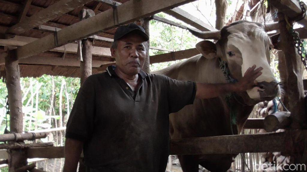 Video Puang Tedong, Sapi 1,2 Ton Calon Hewan Kurban Jokowi