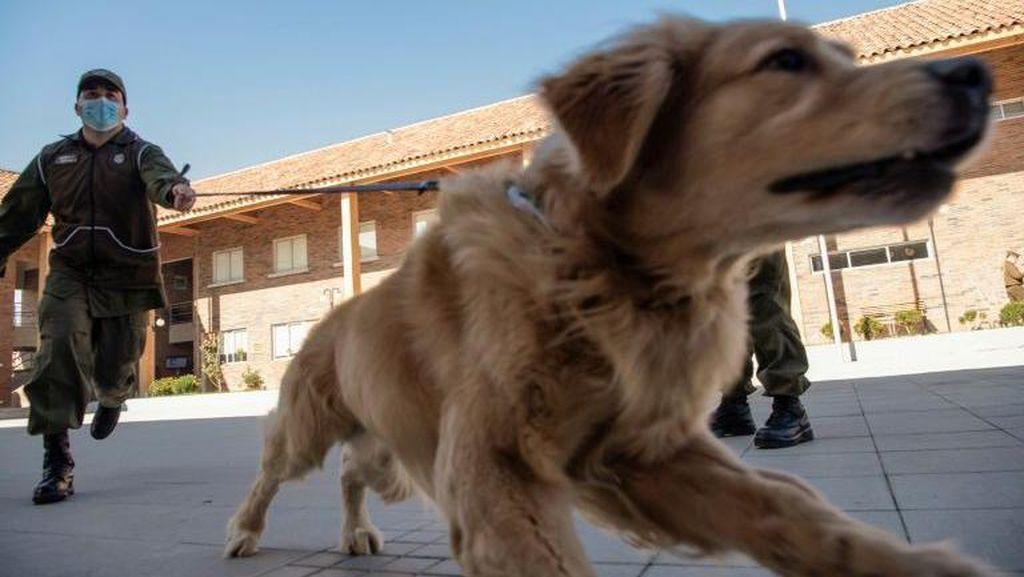 Polisi Chile Latih Anjing untuk Deteksi Orang yang Terinfeksi Corona