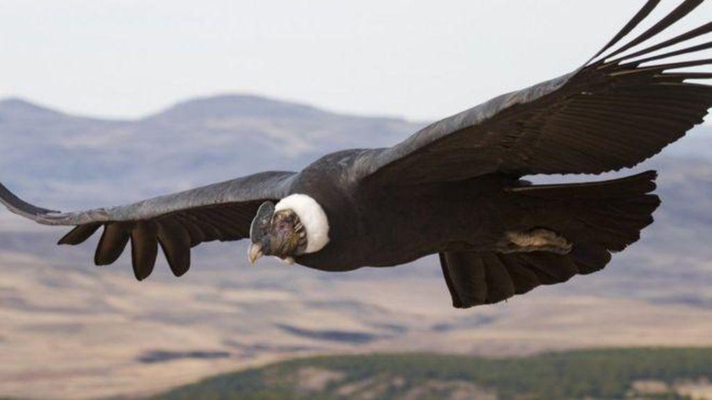 Hebatnya Burung Condor, Terbang 172 Km Tanpa Kepakan Sayap