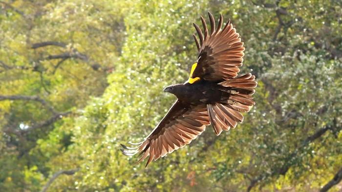 Sejumlah satwa dilepasliarkan di Taman Nasional Baluran, Jatim. Satwa yang dilepasliarkan yakni burung merak hijau hingga burung Elang Laut.