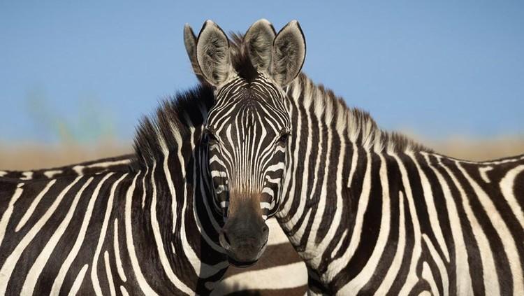 Ilusi optik foto zebra yang jadi viral.