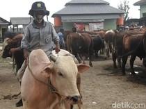 Dampak Pandemi, Permintaan Sapi Kurban di Banjarnegara Turun