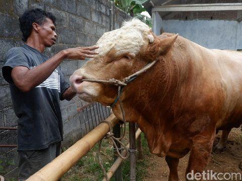 Sapi 1,3 ton di Banjarnegara, Rabu (15/7/2020).