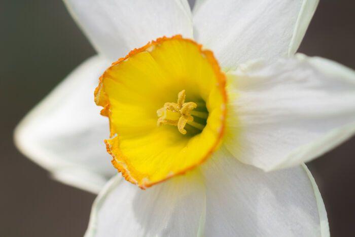 Bunga Daffodil