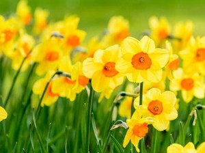 Bunga Daffodil, Filosofi dan Manfaat di Balik Bunga yang Cantik Tapi Beracun