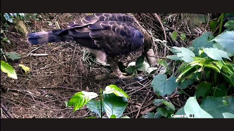 Burung elang Pusat Suaka Satwa Elang Jawa