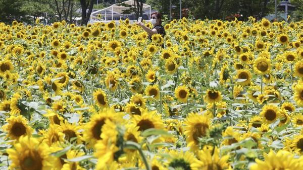 Seorang pengunjung berselfie di tengah-tengah taman bunga matahari, Rabu, 15 Juli 2020.