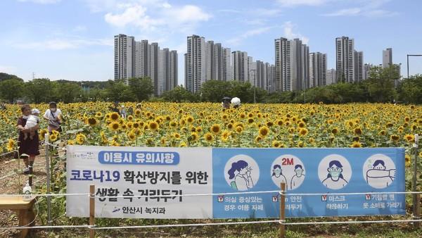 Begini hamparan keindaha bunga matahari di Ansan, Korea Selatan.