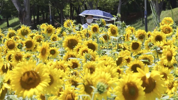 Ratusan bunga matahari mekar di sebuah taman di Ansan, Korea Selatan.