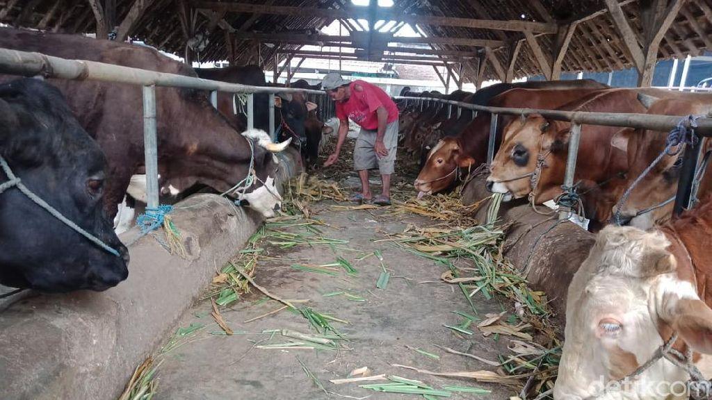 Daging Kurban Jokowi di Lebong Bengkulu Akan Diberikan ke 600 KK