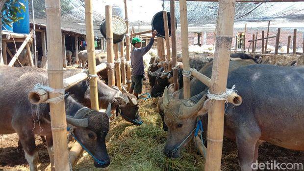 Kerbau hewan kurban di kandang Kudus ini mendapat jamu hingga layanan pijat, Kamis (16/7/2020).