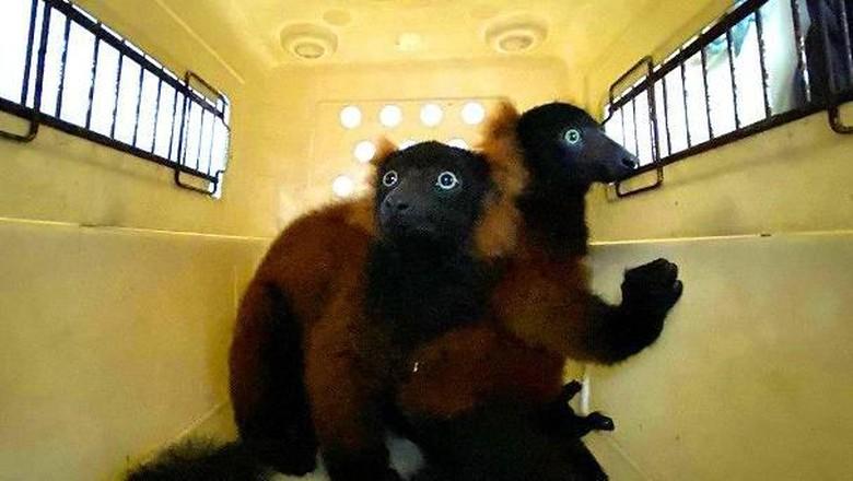 Lemur Leher Merah