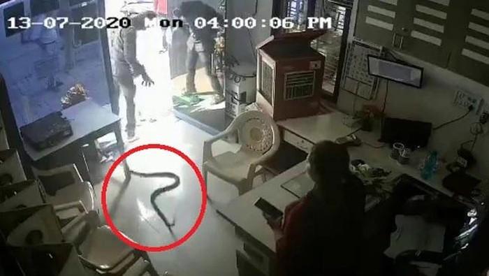 Ular kobra dilempar ke kantor SPBU