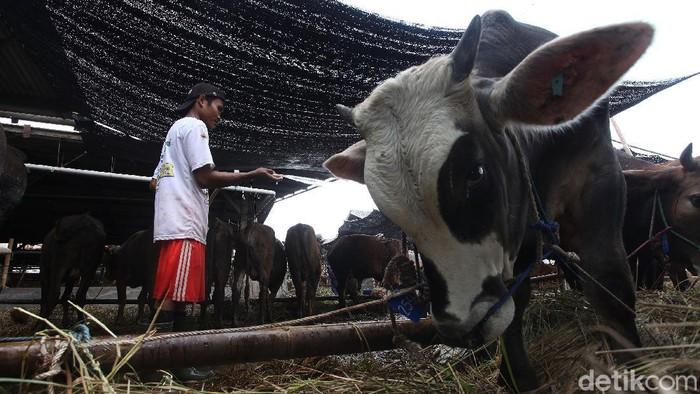 Jelang Idul Adha kini hewan qurban mulai bermunculan di Jakarta, Pemprov DKI melalui Wakil Gubernur DKI Ahmad Riza Patria mengecek langsung kesiapan hewan qurban di PD Dharma Jaya, Jakarta Timur, Rabu (16/7/2020).