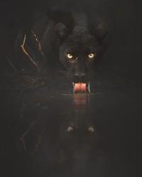 Selama lebih dari dua tahun dia berburu kucing hitam raksasa ini. (Shazz Jung/Instagram)