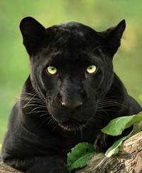 Adapun waktu berburu gambarnya dimulai dari Desember 2017 hingga Januari 2020, dengan izin syuting. Izin syuting ini membuat dia dan tim untuk membuat film dokumenter tentang black panther hitam untuk National Geographic. (Shazz Jung/Instagram)