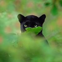 Lihatlah sorotan matanya kucing besar yang tajam ini. (Shazz Jung/Instagram)