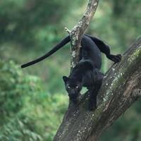 Seorang pembuat film dan fotografer bernama Shazz Jung membagikan ceritanya tentang usaha mendapatkan gambar black panther. (Shazz Jung/Instagram)