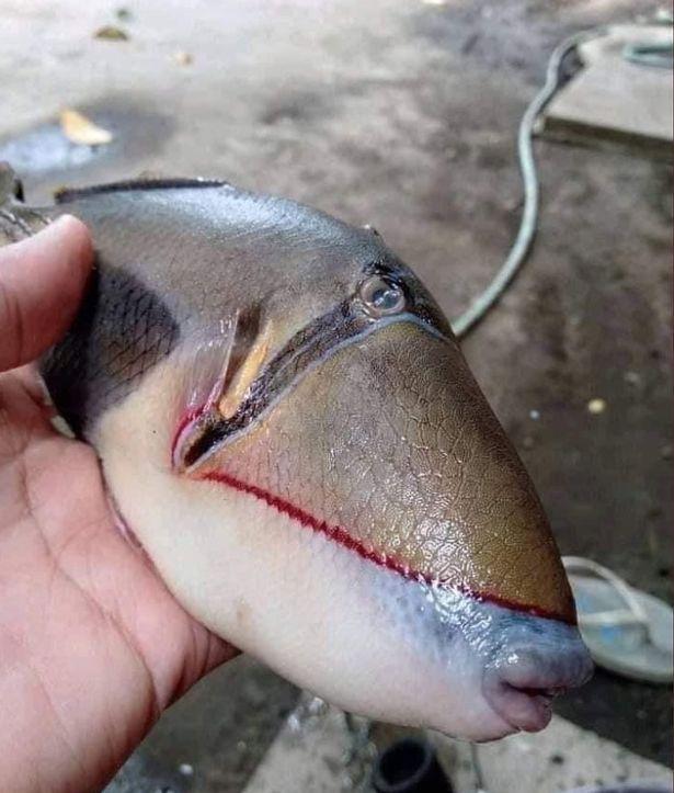 Ikan Ayam-ayam Bikin Heboh Netizen