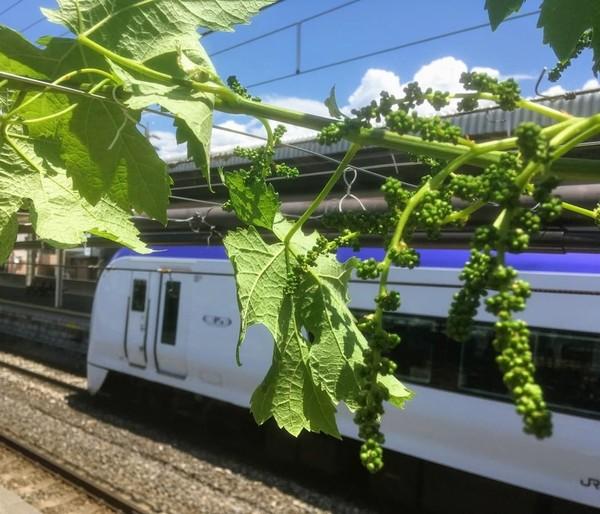 Tujuan menanami peron dengan anggur adalah untuk menarik perhatian penumpang atau wisatawan yang datang ke stasiun kereta itu. Mereka juga ingin mempromosikan anggur yang menjadi komoditas lokal Shiojiri. (Foto: Instagram @shiojiritokimeguri)