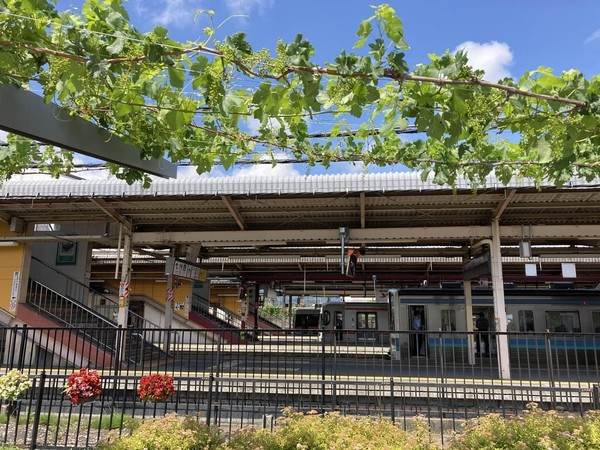 Peron Stasiun Kereta Kota Shiohiri di Jepang selain digunakan penumpang untuk menunggu kereta, dimanfaatkan pula sebagai lahan menanam anggur. (Foto: Instagram @shiojiritokimeguri)