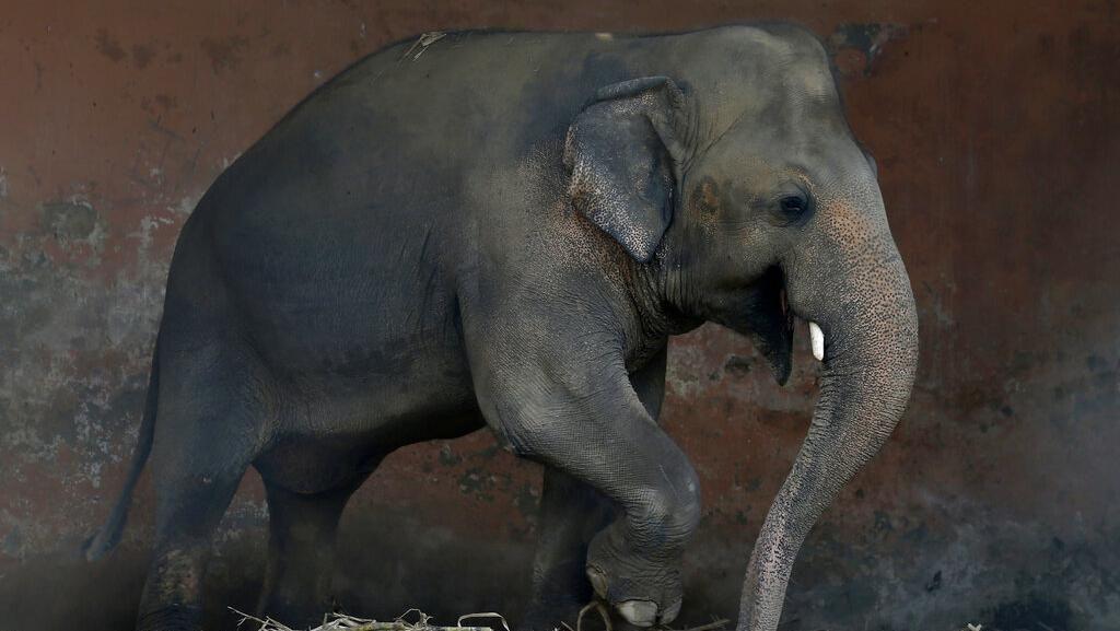 Kaavan, Si Gajah Kesepian di Pakistan Akan Dipindahkan ke Kamboja