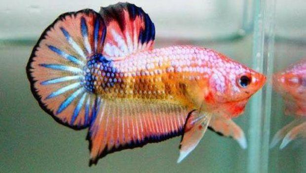 ikan cupang termahal