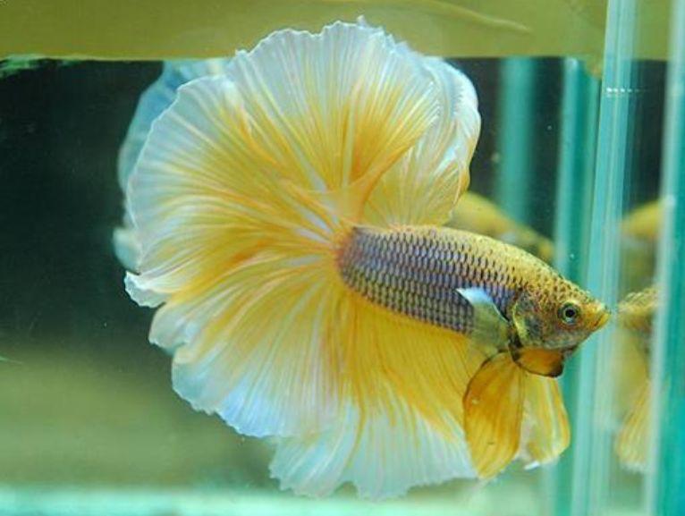 Ini 5 Ikan Cupang Termahal Jangan Digoreng Ya