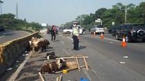 Pikap Pecah Ban, Muatan Kambing Terjatuh di Jalan Tol Ciawi
