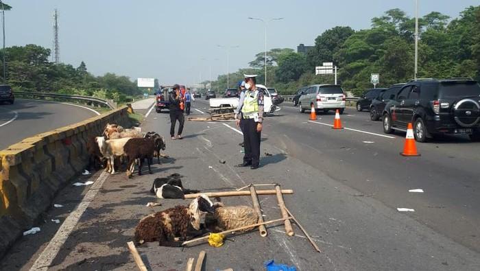 Mobil pikap mengalami pecah ban di KM 24,6 Tol Ciawi. Akibatnya, kambing muatan pikap terjatuh di jalan tol.