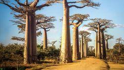 14 Pohon Paling Unik dan Cantik Sedunia
