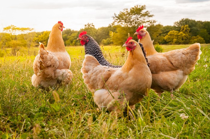 A flock of chickens in search of food late in the day