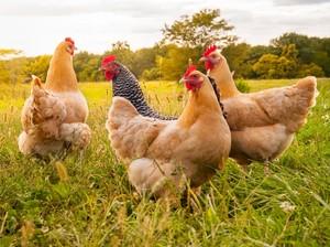 Doyan Kepala Ayam? Meski Enak Tapi Bisa Berbahaya