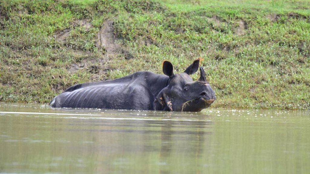 Badak Bercula Satu Mati Akibat Banjir di Taman Nasional India