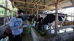 Melihat Peternakan Sapi Perah di Lembang