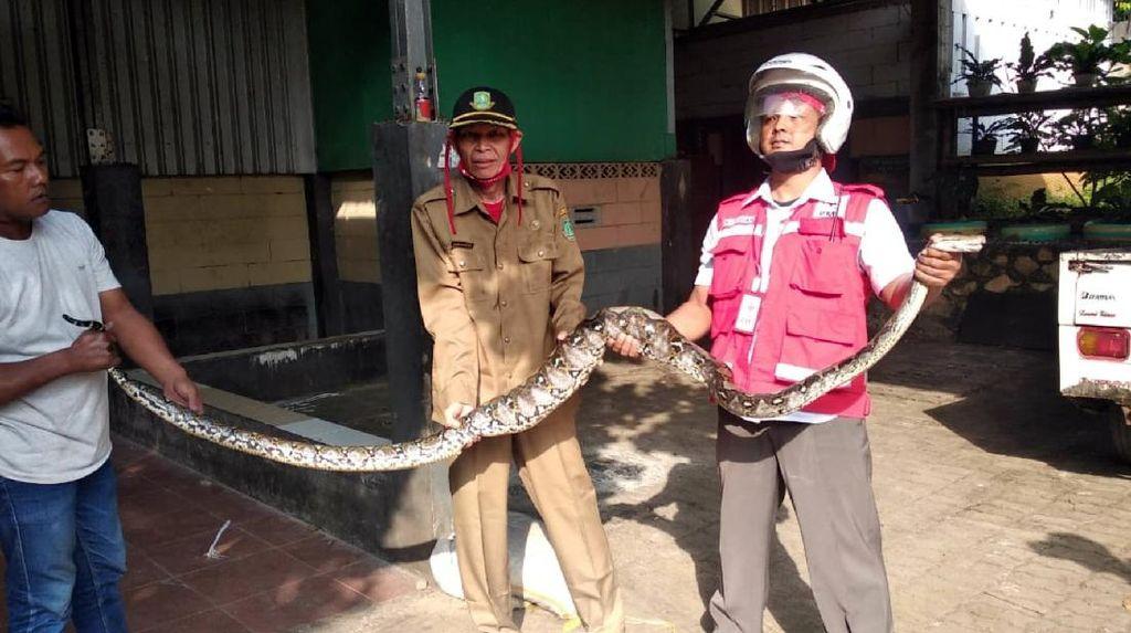 Ular Piton 6 Meter yang Mangsa Ternak Warga Sukabumi Ditangkap