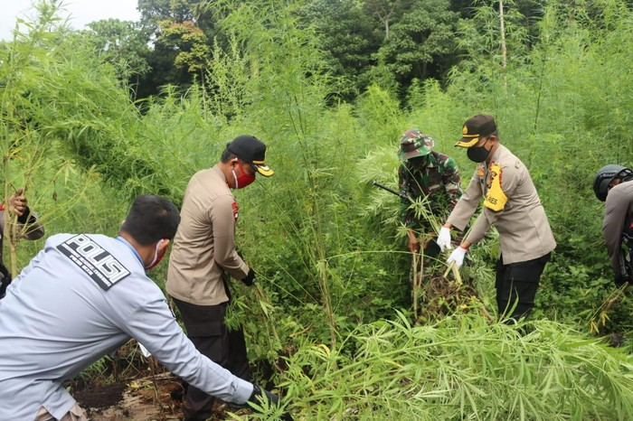 Polda Aceh memusnahkan ladang ganja seluas 10 hektare yang terletak di pegunungan Aceh Besar (dok. Istimewa)