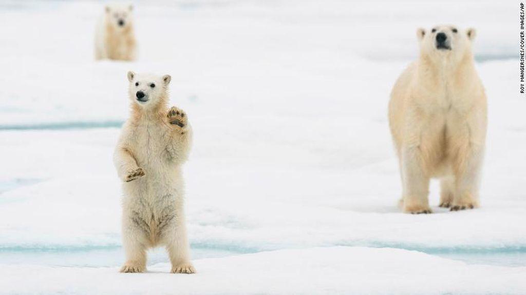 Beruang Kutub Diperkirakan Punah 2100