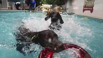 Ini Lho Kolam Renang Khusus Anjing di Dubai