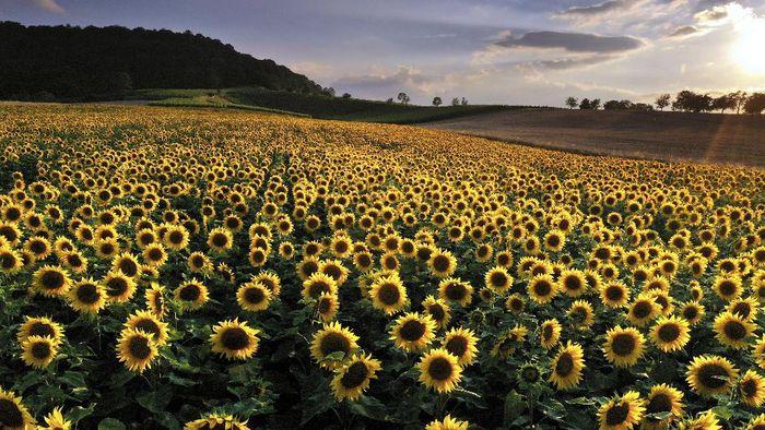 Hamparan bunga matahari menjadi lansekap indah dan memanjakan mata. Ditambah dengan senja, pemandangan yang dihasilkan sangat mempesona. Penasaran?