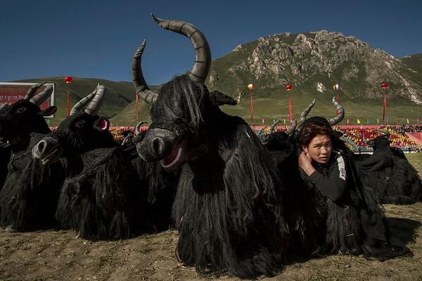 Hewan terkenal di Tibet adalah Yak untuk jantan dan dri untuk betina yang mampu membawa beban 50 kg dengan perjalanan 5000 meter dengan suhu -30° C. Yak digunakan untuk membajak tanah, diambil daging, susu, dan kulitnya. Kevin Frayer/Getty Images