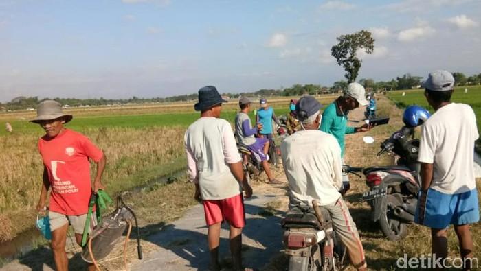 Petani di Klaten mengeluh diserang hama wereng