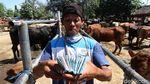 Di Tempat Ini Pedagang Sapi Solo Kumpul Jelang Idul Adha