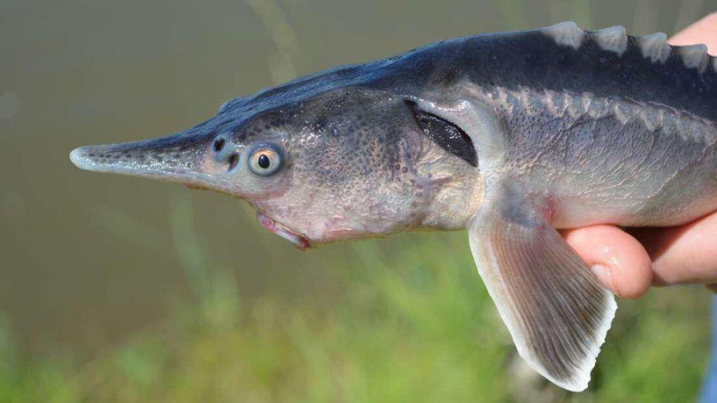 Ilmuwan Tak Sengaja Ciptakan Ikan Tongkol Bertampang Aneh