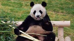 Stok Bambu Menipis, 2 Panda di Kebun Binatang Kanada dalam Bahaya