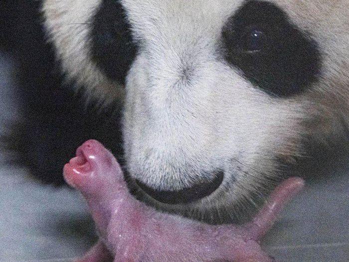 Panda pertama di Korea Selatan