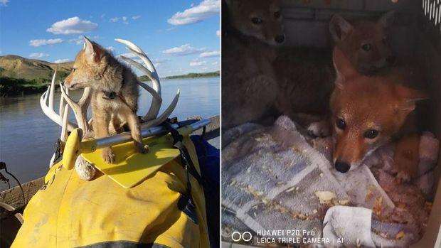 Penyelamatan anak anjing hutan