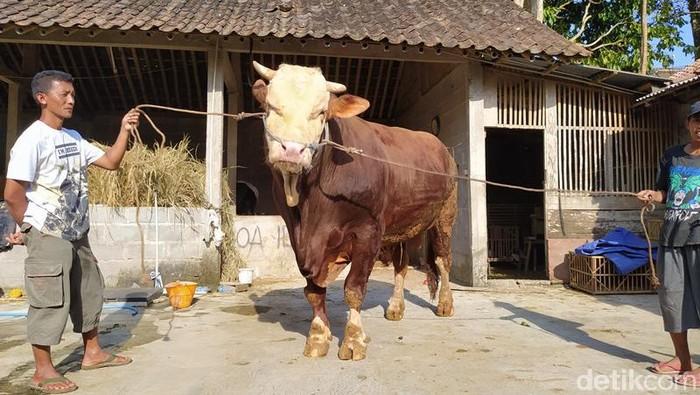 Sapi simental seberat 1,1 ton milik peternak asal Kabupaten Magelang, Kamis (23/7/2020).